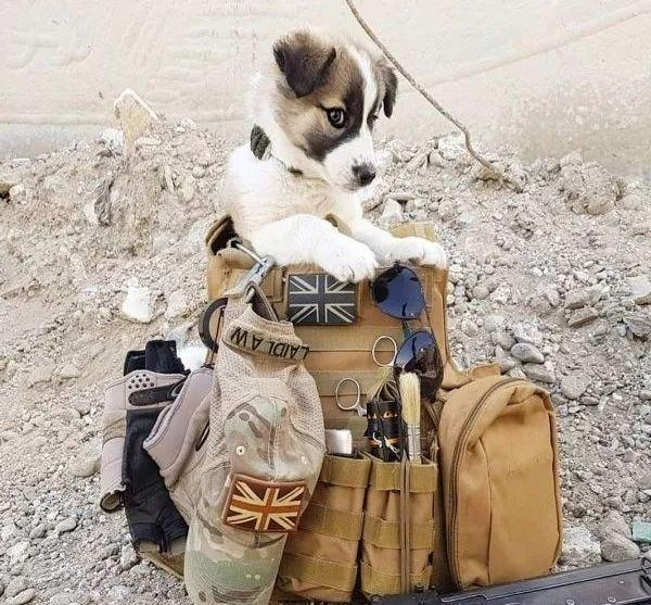 战地流浪狗飞越3000公里找爸爸,现在的它是天使般的存在啊